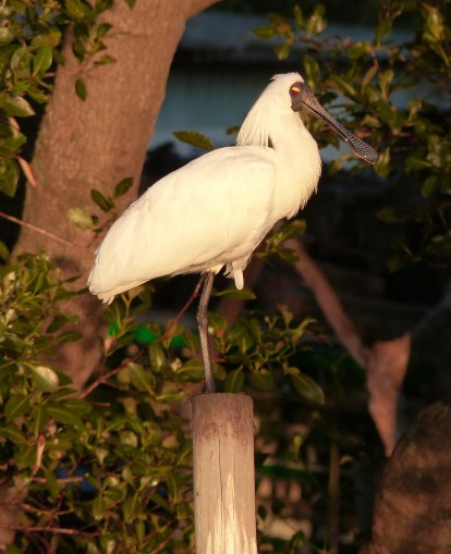 Royal Spoonbill in breeding plumage