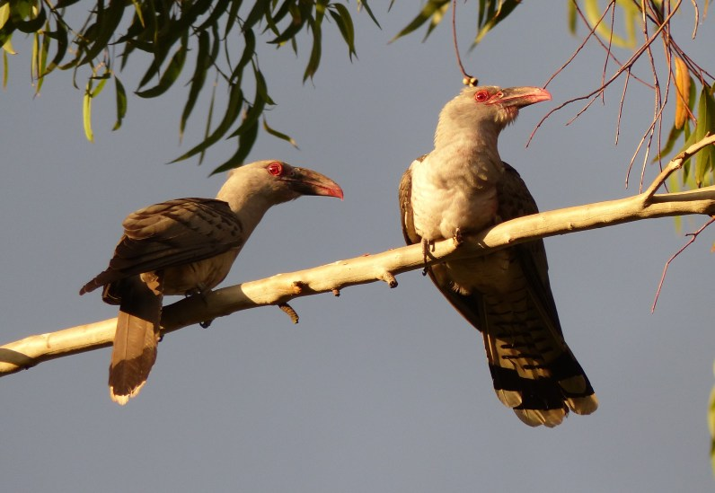 Pair of channel billed cuckoos