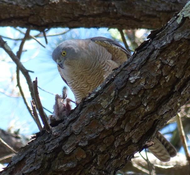 Dead wattlebird being sized up