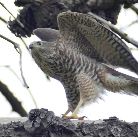 Juvenile sparrowhawk wings raised square