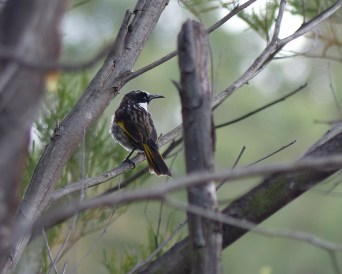 White cheeked honeyeater crop
