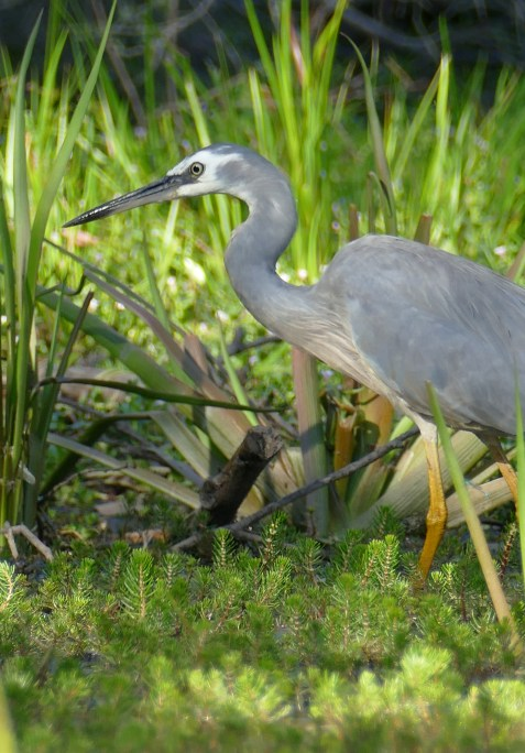 White faced heron hunting