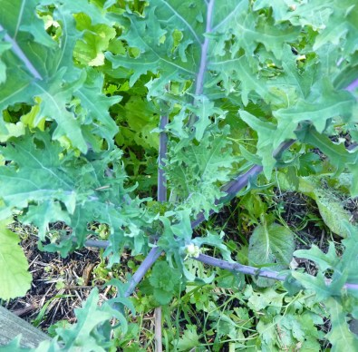 Kale doing it for itself
