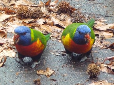 Lorikeets and liquidambar 2