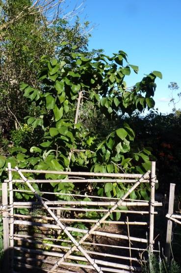 Spirited little custard apple tree blocking my garden path