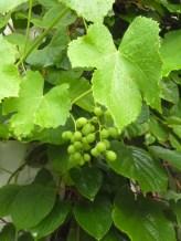Kiwi and grape leaves