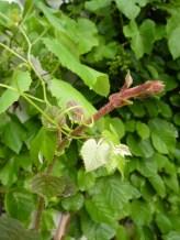 Kiwi and grape tendrils