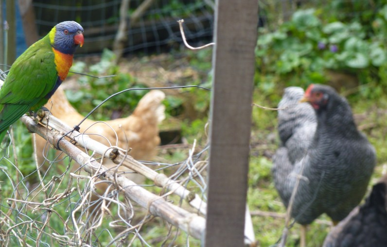 Damp lorikeet meets the chickens