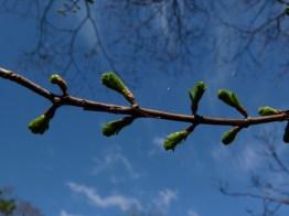 Sequoia leaf buds
