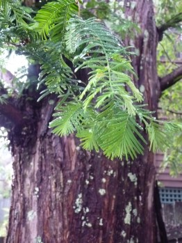 Sequoia leaves