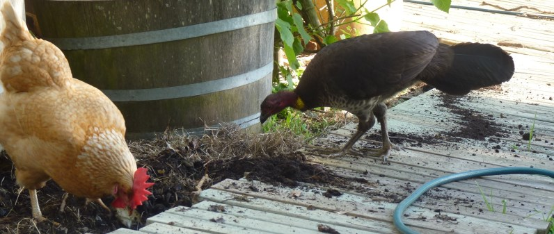 Andy and brush turkey digging crop