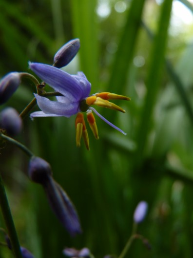 Dianella caerulea really really closeup