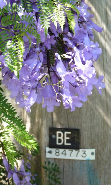 Jacaranda flowers close up