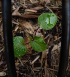 Seedling burgundy okra