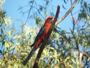 Crimson rosella waiting impatiently for the drop dunny