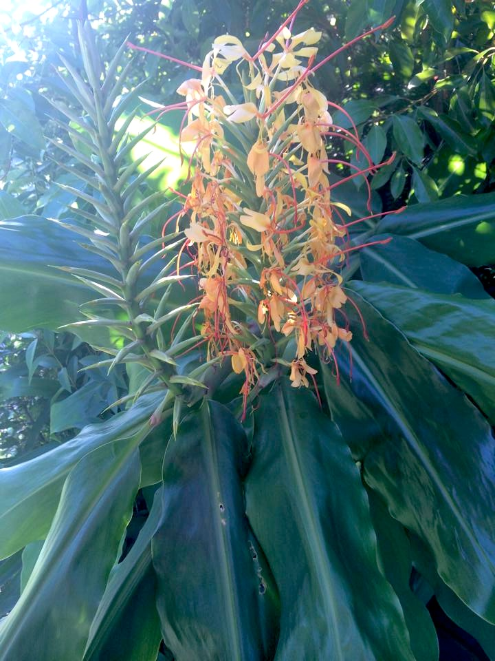 Kahili ginger or ginger lily- dig it up and get rid of it!