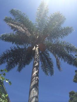 """Cocos palm in our yard - """"a telegraph tree"""""""