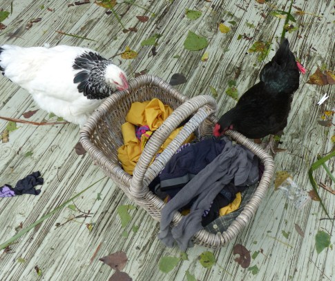 Treasure and Shyla checking to see if the washing is edible