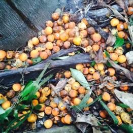 Cocos fruit rain