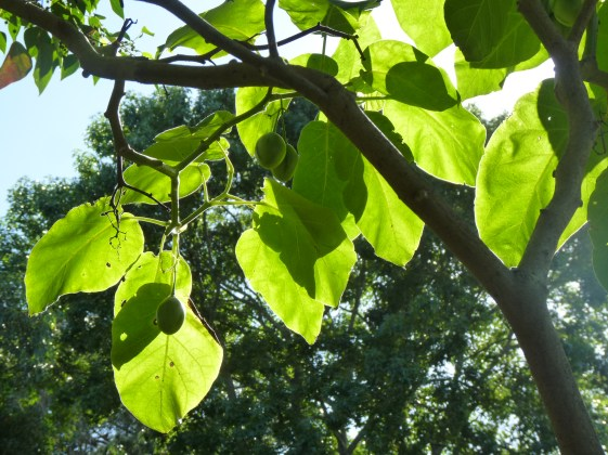 Tamarillo leaves