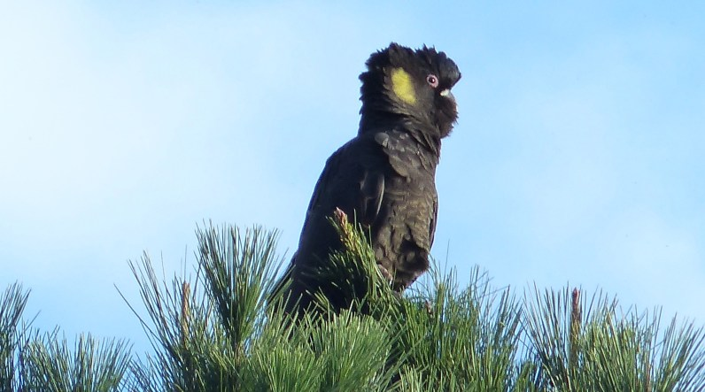 Black cockatoo on the top of the tree cropped further