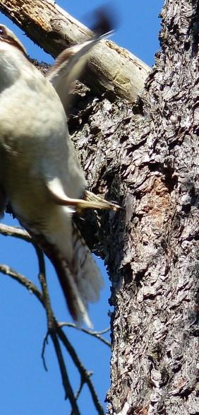 Departing kookaburra
