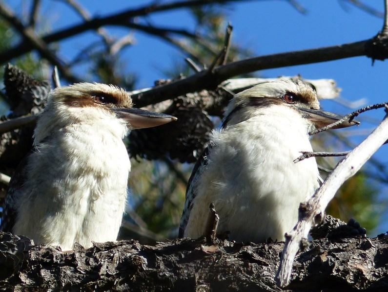 Kookaburra family resemblances
