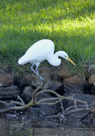 Great egret. I think!