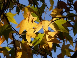 Liquidambar leaf pattern