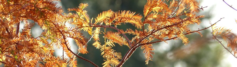 Fall leaves of dawn redwood