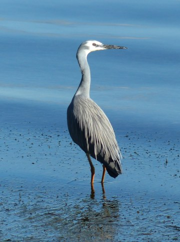 Adult white faced heron showing lanceolate plumes (absent in juveniles) on the back