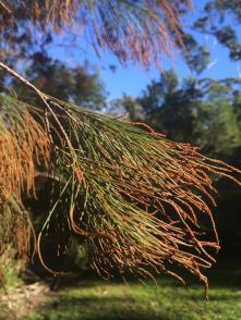 Male casuarina tipped with pollen
