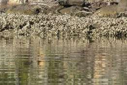 Oysters upstream in Mooney Mooney Creek
