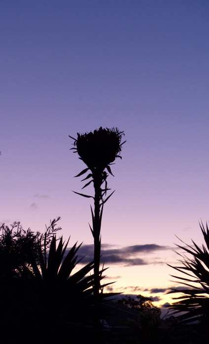 Silhouetted gymea lily at dusk
