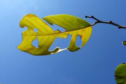 Past it custard apple leaf