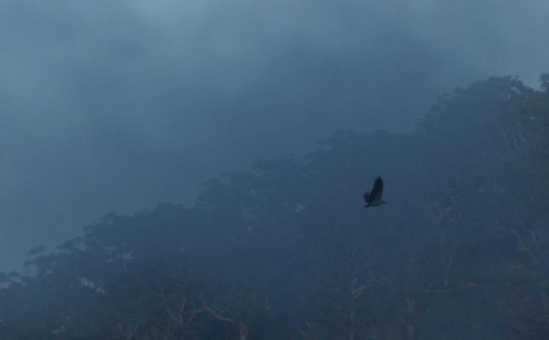 White bellied sea eagle flying through the mist