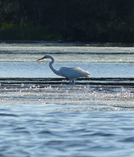 Greater Egret hunting in Budgewoi Lake