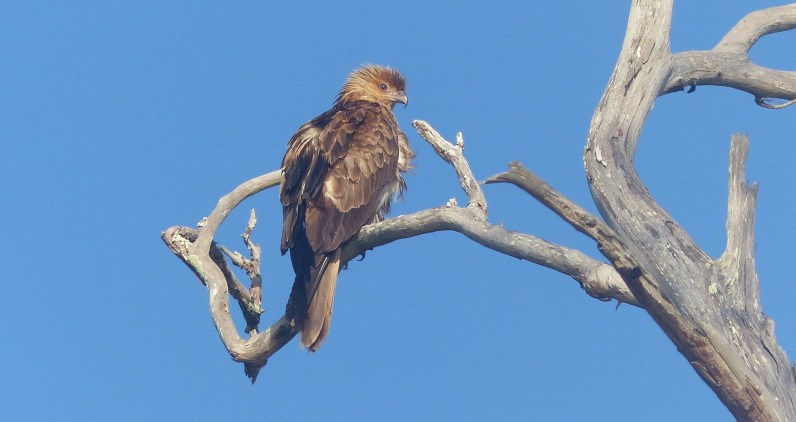 The whistling kite of Bar Island
