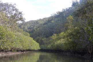 Grey mangroves and the northern side of the Kimmerikong Creek
