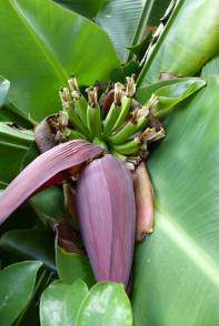 Banana flowers and fruits