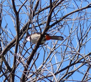 Red-whiskered bulbul (a non-native species)