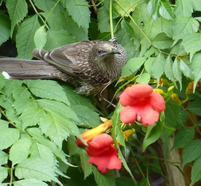 Little wattlebird wondering about that clicking noise