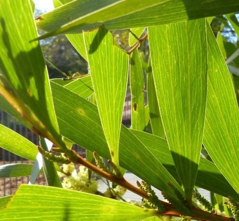 Wattle leafpattern closeup crop