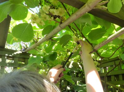 Pollinating kiwifruit