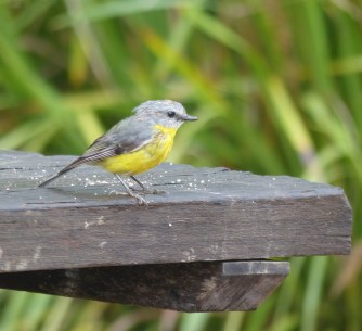 Eastern yellow robin having a picnic