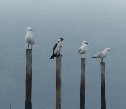 Small pied cormorant pretending it's a gull