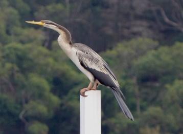 Female darter near Marramarra Creek