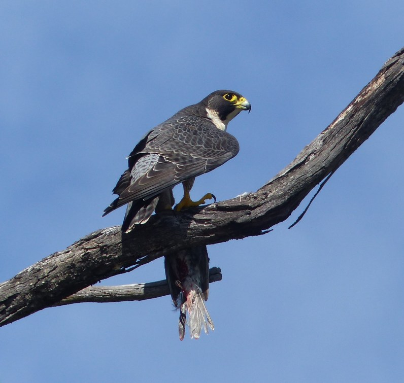 Peregrine falcon in profile with prey
