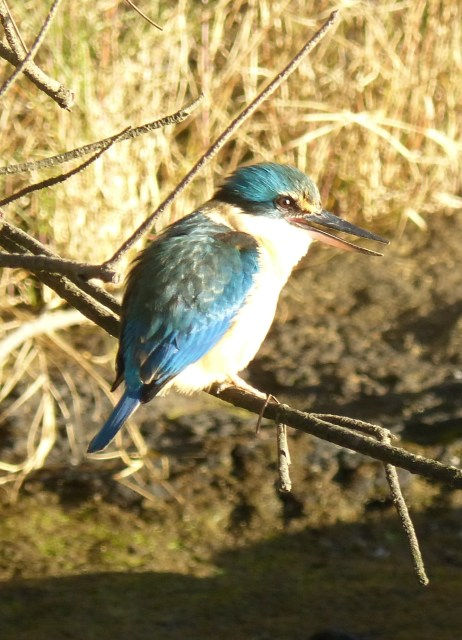 Sacred kingfisher getting ready for a multicoloured yawn