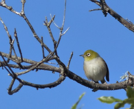 Silvereye in a branch